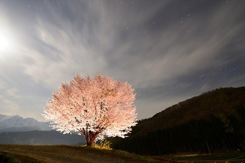 美到像P圖!精選日本5處夢幻一本櫻,感受唯美魔幻氛圍