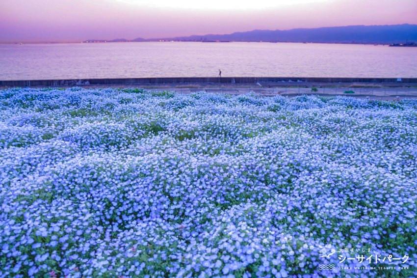 100萬株的粉蝶花齊綻放!關西最盛大的「粉蝶花祭2021」就在大阪舞洲海濱公園4月9日開幕!隨手一拍都美哭