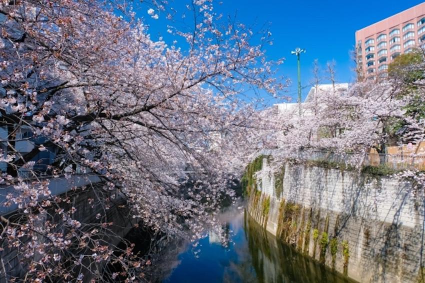在家也能享受在日本賞櫻的氛圍!日本旅行社推線上直播旅行團,搭上敞篷巴士盡賞東京櫻花之美!