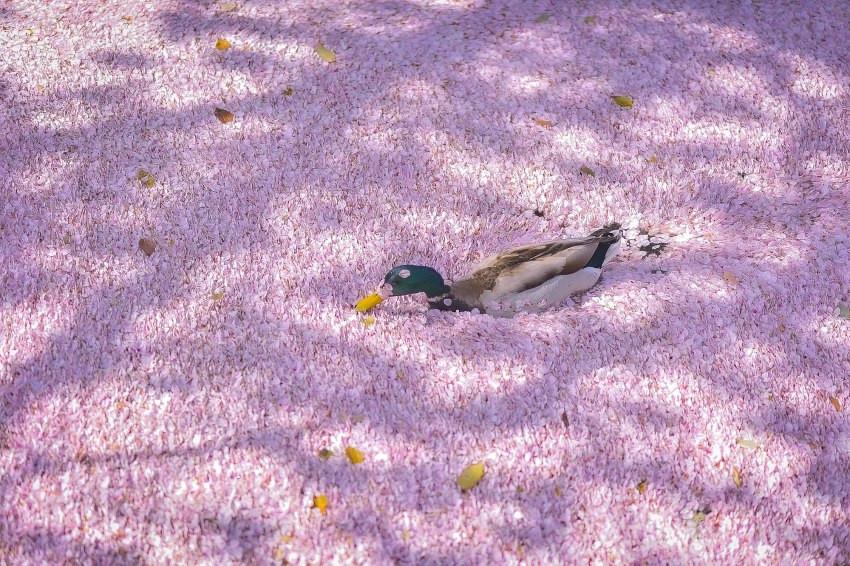 另類的京都雅緻,哲學之道櫻花花瓣落成「花筏」,攝影師捕捉鴨鴨洗花瓣浴!