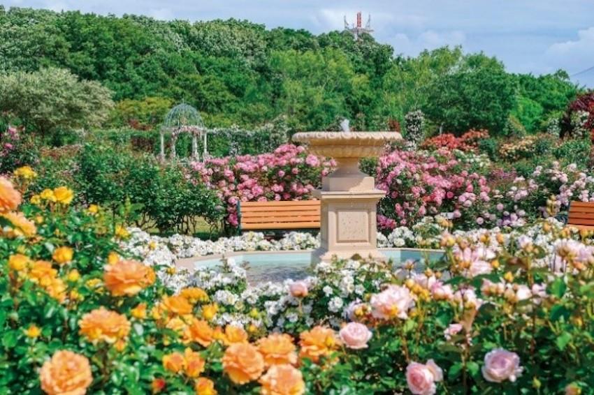 美哭!春季戶外踏青必訪!「京成玫瑰園」1600種10000株的玫瑰齊綻放,美到讓人捨不得離開