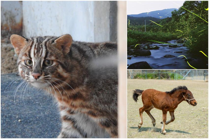 到長崎對馬島來趟大自然生態之旅,賞螢火蟲「對馬姬螢」、拜訪石虎親戚「對馬山貓」!