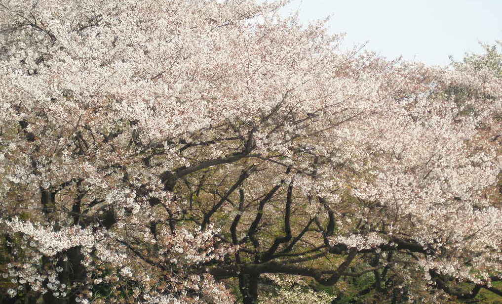 新宿御苑賞櫻之旅,這輩子一定要去體驗一次,見證什麼叫做櫻花雨!