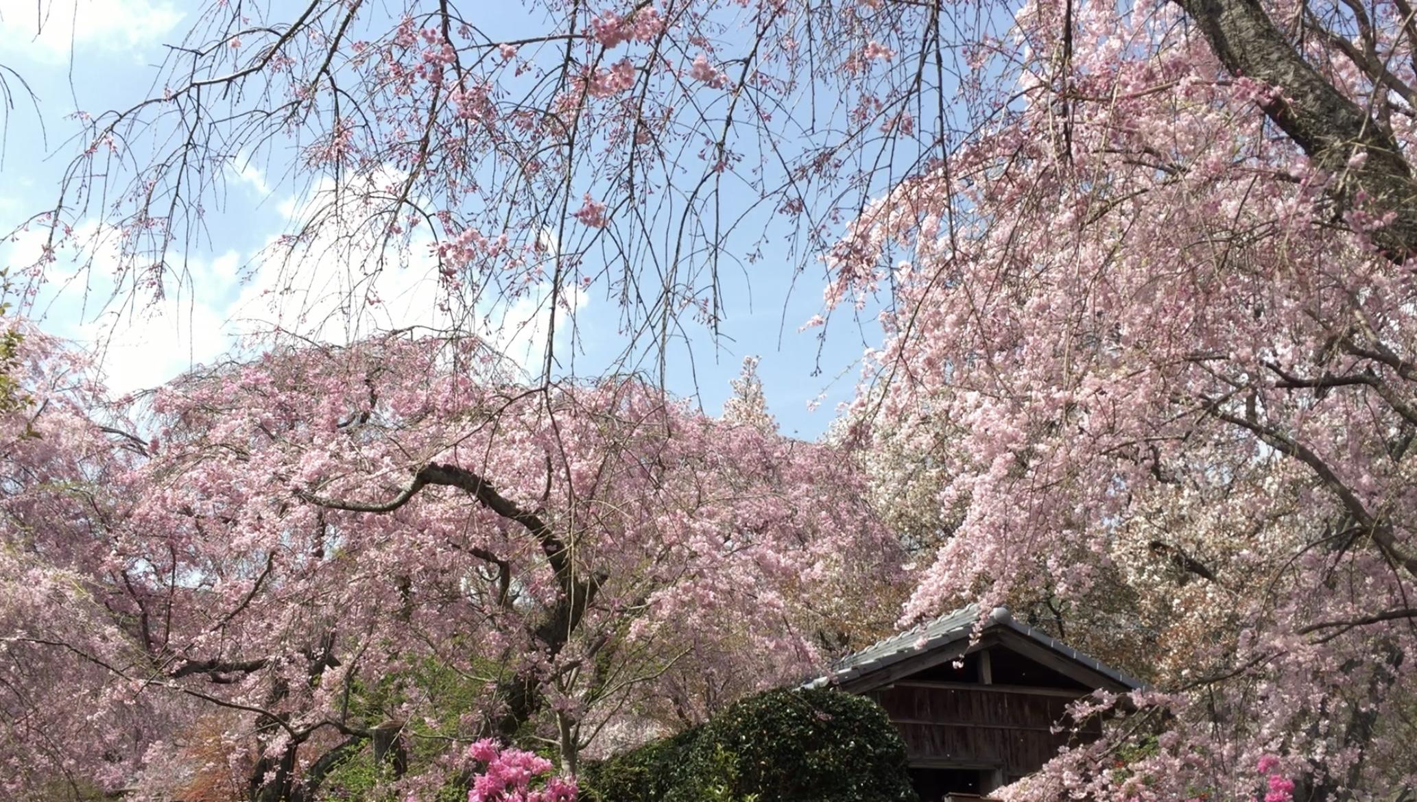京都的秘密花園「原谷苑」—  鋪天蓋地的沈浸式賞櫻體驗