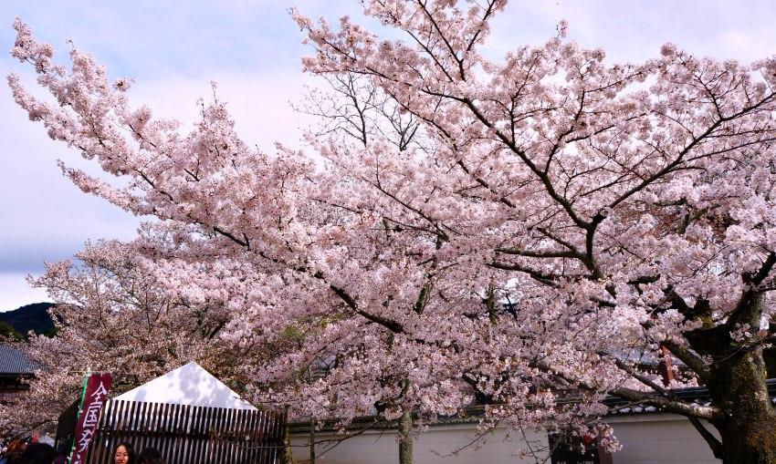 京都賞櫻之旅,平安神宮+醍醐寺,櫻花配寺廟就是很有FU!