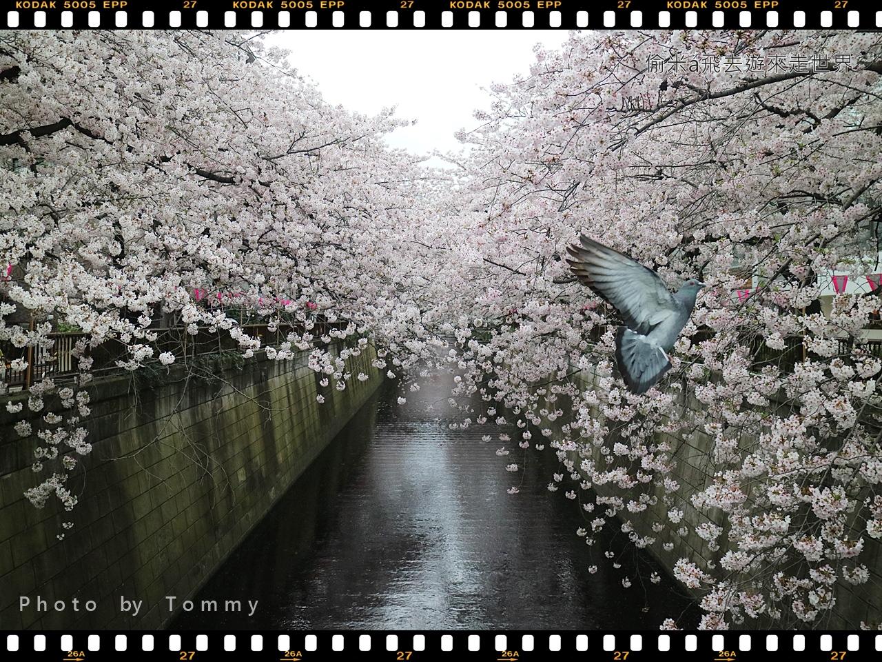 [東京賞櫻] 關東第一人氣賞櫻景點-目黑川櫻花 (中目黑-目黑段)