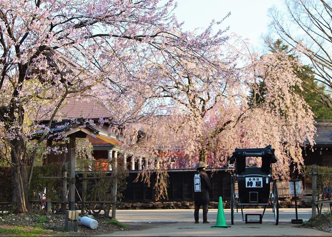 峰瘋瘋的旅行故事: 超級誇張美的春季秋田角館,真後悔沒給它一整天的時間