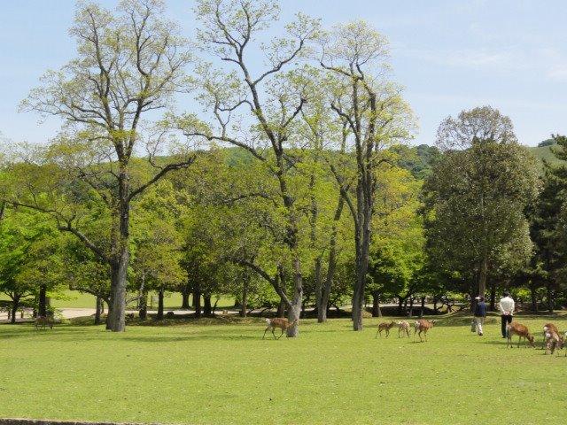 我的日本夏日回憶:奈良公園+春日大社+東大寺,奈良鹿好兇猛!