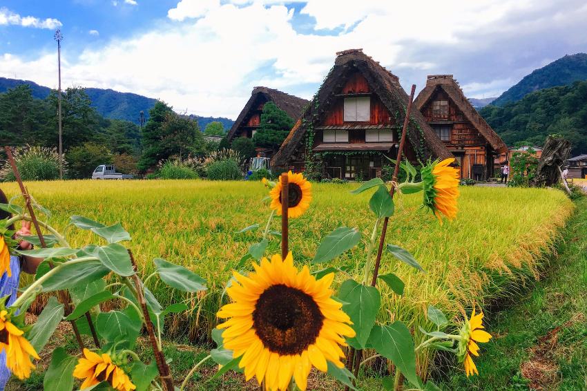 東海道之旅│造訪夏季的白川鄉合掌村,與可愛的向日葵一同搖曳放空吧!