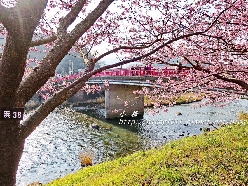 日本最早綻放的櫻花! 河津櫻祭!!